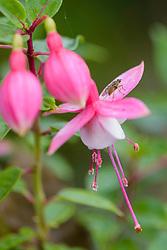 Vlieg op fuchsia bloem