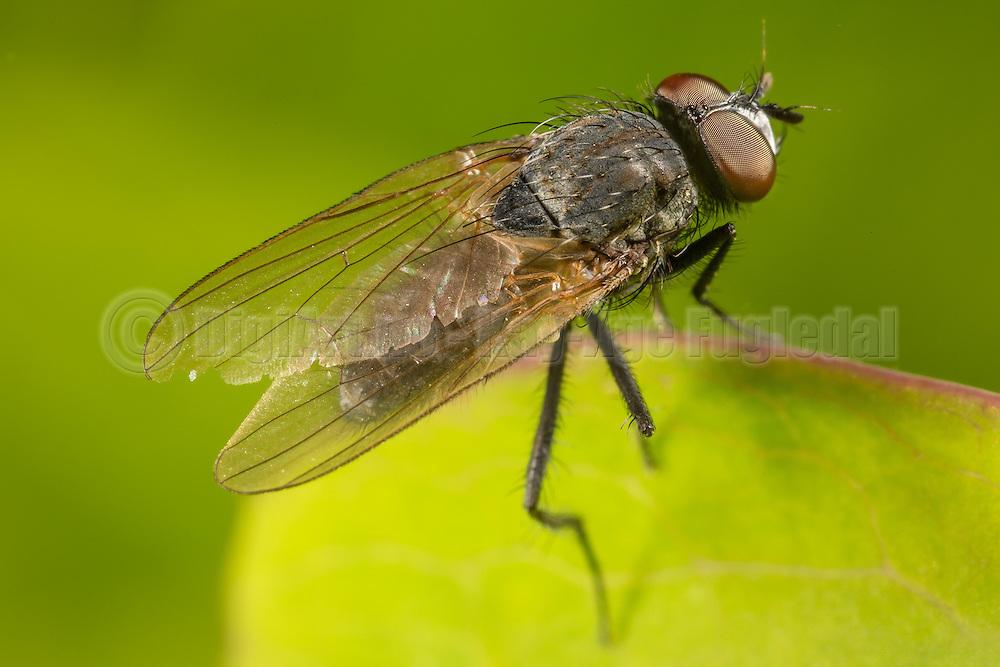 Macro picture of a fly on a leaf   Makrobilde av en flue på et blad.
