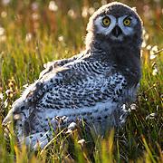 Snowy Owl (Bubo scandiacus) fledgling. Barrow, Alaska