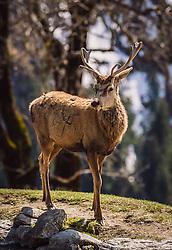 THEMENBILD - ein Rotwild Hirsch auf einer Wiese, aufgenommen am 07. März 2019 in Aurach, Oesterreich // a deer in a meadow, Austria on 2019/03/07. EXPA Pictures © 2019, PhotoCredit: EXPA/Stefanie Oberhauser