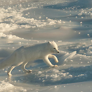 Arctic Fox (Alopex lagopus) in the winter fur coat phase, running near Churchill, Manitoba, Canada.