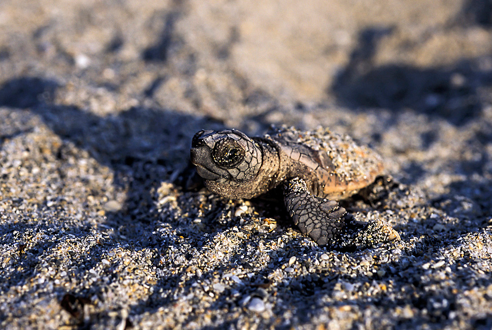 Loggerhead Sea Hatchling, Juno Beach, Florida, United States