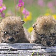 Gray Wolf (Canis lupus) pups in a field of wildflowers during spring in southwest Montana. Captive Animal