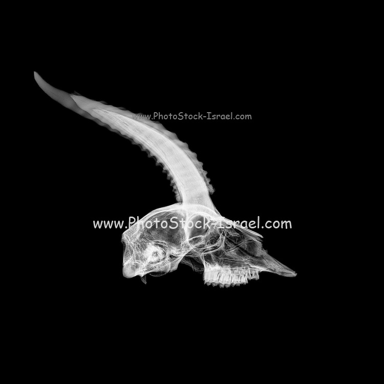 Side view X-ray of a skull of a gazelle on black background
