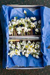 British grown hellebores in their box - Helleborus niger - in their box at Moyses florists