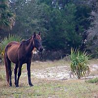 USA, Georgia, Cumberland Island. Dark brown feral horse of Cumberland Island.
