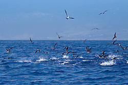 sooty tern, Onychoprion fuscatus = Sterna fuscata, and wedge-tailed shearwater, Puffinus pacificus, feeding on bait fish driven to the surface by attacking skipjack tuna, Katsuwonus pelamis, underwater, Kona Coast, Big Island, Hawaii, Pacific Ocean