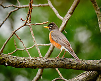 American Robin. Image taken with a Fuji X-T3 camera and 200 mm f/2 OIS lens