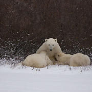 Polar Bear (Ursus maritimus) mother nursing her cubs. Churchill, Manitoba