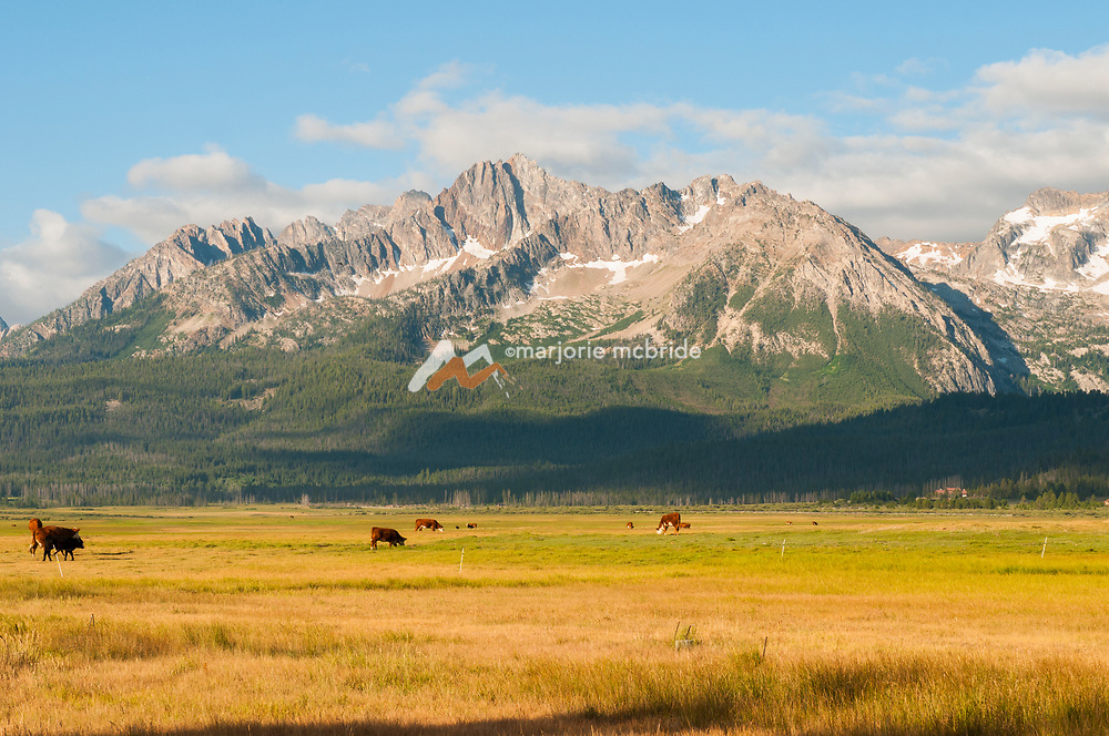Cows in pasture under the Sawtooth Mountain range, Stanley, Idaho.