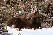 Young moose resting in a snow patch and keeping an eye out for danger in Grand Teton National Park.