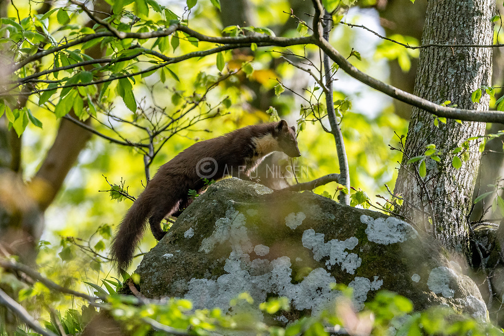 European pine marten (Martes martes) from Hidra, south-western Norway in May.