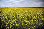 Nederland, Groesbeek, 30-5-2010Platteland. Veld met koolzaad, grondstof voor biodiesel diesel brandstof. Landbouw, subsidie, eu, e.u., Europese unie, Foto: Flip Franssen/Hollandse Hoogte