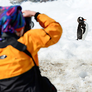 A Gentoo penguin (Pygoscelis papua) appears to pose for a photographer on the shoreline at Neko Harbour on the Antarctic Peninsula.
