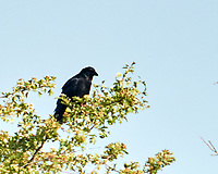 Carrion Crow (Corvus corone). Viewed from the deck of the MV Explorer transiting the Keil Canal in Germany. Image taken with a Nikon N1V2 camera and 80-400 mm VR lens.