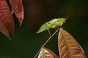 Katydid<br /> (Tetigoniidae)<br /> Iwokrama Reserve<br /> GUYANA. South America