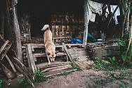 Shan State, Myanmar - November 3, 2011: A dog descends the stairs of a home in a village somewhere between Kalaw and Inle Lake in Myanmar's Shan State