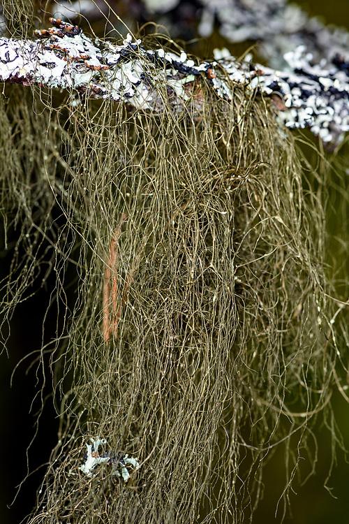 Lichen form the genus Bryoria, (probably B. fuscescens) from Lom (Vestland, Norway).