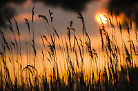 Lagoon with reed grass at sunset, Camargue, France