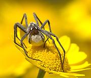Wolf Spider, Pisaura mirabilis, female, carrying silk ball with eggs inside, yellow flower, hunting, nurturing, caring, UK