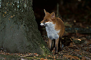 Red Fox ( Vulpes vulpes) Blean Wood, Kent night looking for other animals or foxes