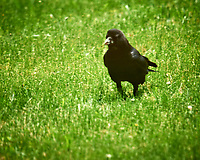 American Crow. Image taken with a Nikon D3x camera and 600 mm f/4 VR lens.