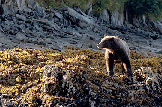 Alaskan Brown Bear (Ursus middendorffi) Adult standing on sea kelp covered rocks. Katmai National Park. Alaska.
