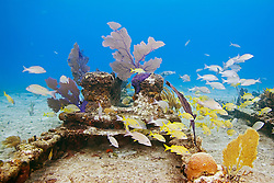 Schooling mixed Grunts, Haemulon sp., and Snappers, Lutjanus sp., over Sugar Wreck, the remains of an old sailing ship that grounded many years ago, encrusted with Sea Fans, Gorgonia sp., and Sea Rods, West End, Grand Bahamas, Atlantic Ocean