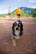 A miniature Australian Shepherd leads the hike at Stratton Open Space in Colorado Springs, Colorado