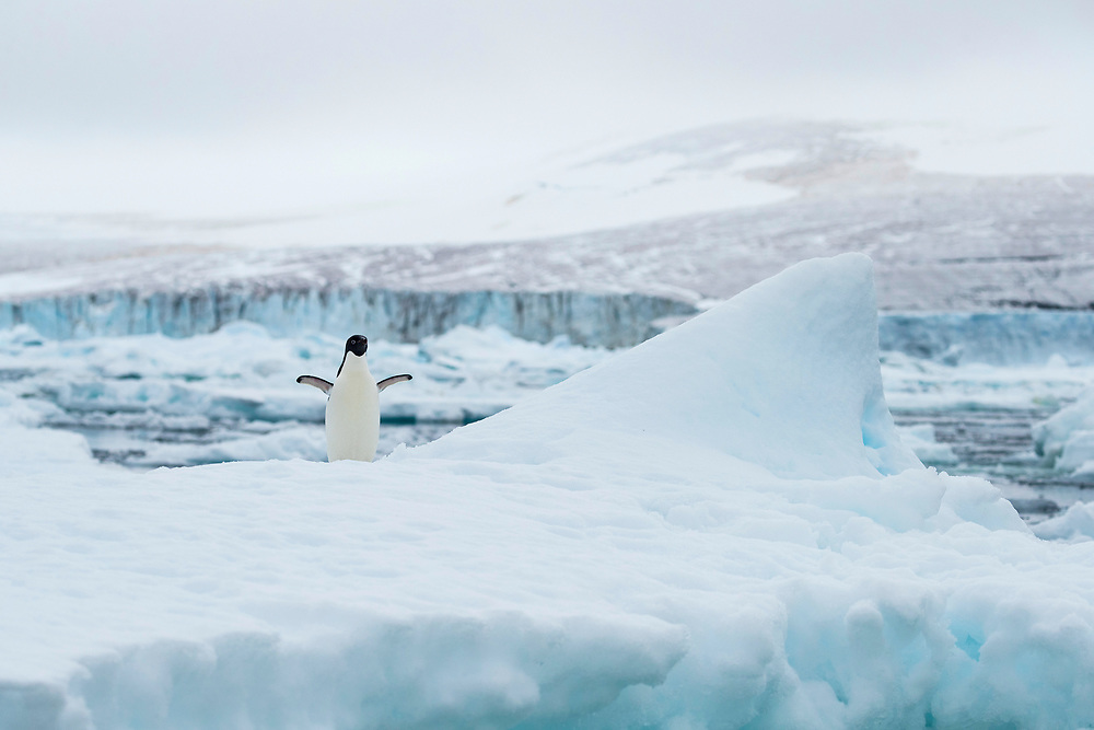 An Adelie penguin on an iceberg on Wednesday, Feb. 7, 2018 in Brown Bluff, Antartica. (Photo by Ric Tapia)