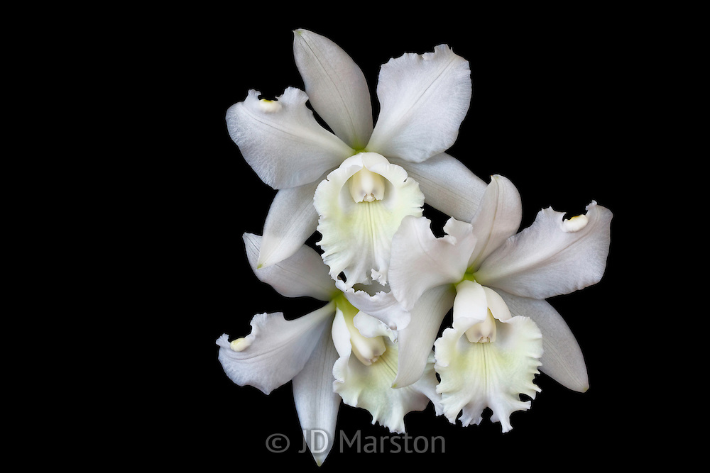 closeup, hope, humility, innocence, intimacy, natural, no people, orchid, purity, refinement, Tropical Flower, wealth, White Cattleya