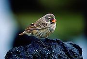 Darwin Finch bird feeding while on a rock, Santa Cruz, the Galapagos Islands, Ecuador