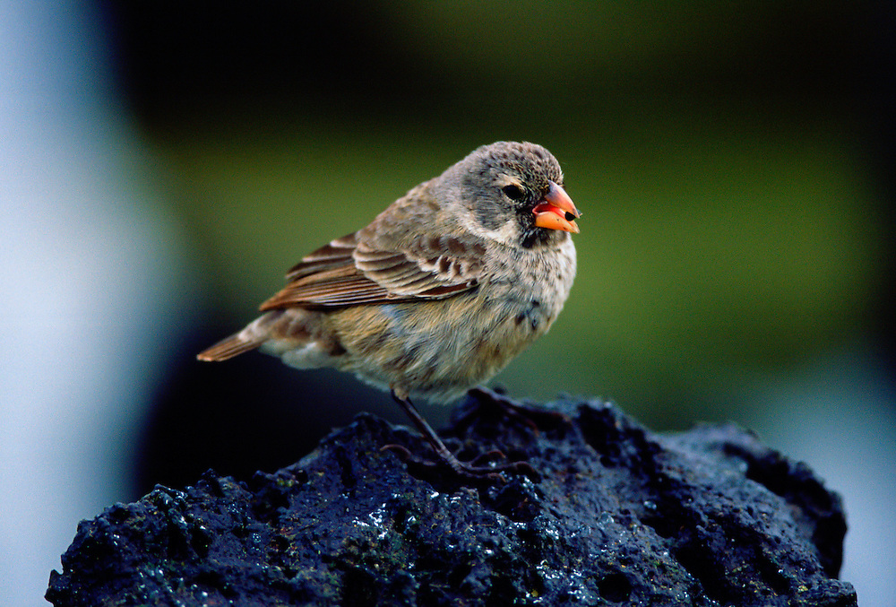 Darwin Finch bird feeding while on a rock, Santa Cruz, the Galapagos Islands, Ecuador