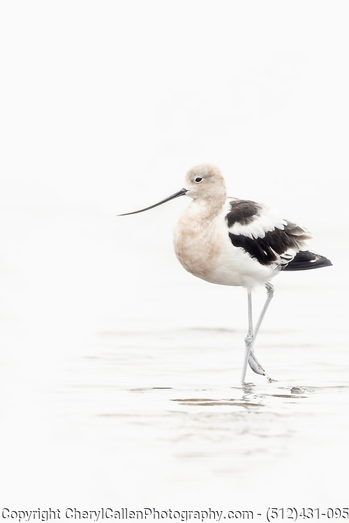 High key image of an American Avocet in the water