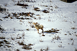 WY: Big Horn Sheep, Bighorn at Jackson Hole in Grand Teton National Park, Wyoming.Photo Copyright: Lee Foster, lee@fostertravel.com, www.fostertravel.com, (510) 549-2202.Image: wygran219