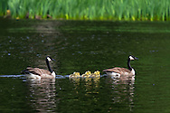 A family of Canada Geese (Branta canadensis) in McLean Pond at Campbell Valley Park in Langley, British Columbia, Canada