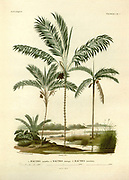 Palm trees of South America From the book 'Voyage dans l'Amérique Méridionale' [Journey to South America: (Brazil, the eastern republic of Uruguay, the Argentine Republic, Patagonia, the republic of Chile, the republic of Bolivia, the republic of Peru), executed during the years 1826 - 1833] By: Orbigny, Alcide Dessalines d', 1802-1857; Montagne, Jean François Camille, 1784-1866; Martius, Karl Friedrich Philipp von, 1794-1868 Published Paris :Chez Pitois-Levrault et c.e ... ;1835-1847