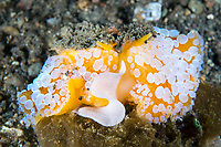 Umbrella Slug, laying a ribbon of eggs on a algae covered rock<br /> <br /> Shot in Indonesia