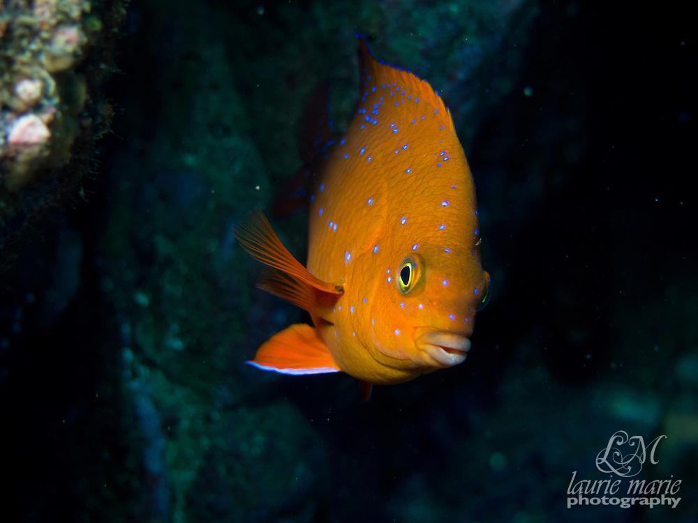 Juvenile Garibaldi (Hypsypops rubicundus)