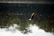 Aquidauana_MS, Brasil...Passaro voando sobre o rio na fazenda Rio Negro no Pantanal...A bird flying over the river in Rio Negro farm in the Pantanal...Foto: JOAO MARCOS ROSA / NITRO