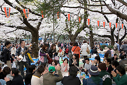 Asia, Japan, Tokyo, Ueno Park.  Crowds of revelers celebrate the bloom of cherry blossom (sakura) trees with all-day picnics.