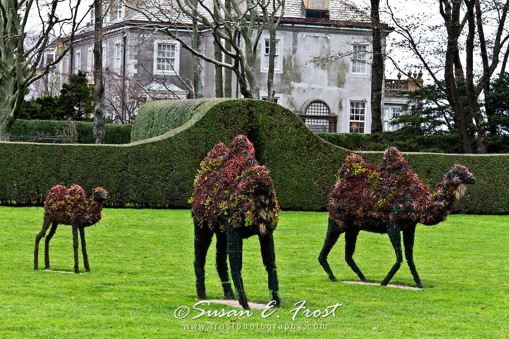 Topiary camels at Doris Duke mansion in Newport, Rhode Island