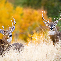 Summertime pals, two prime whitetail bucks enter October still together in their bachelor herd, but the coming rut will soon convince them to part ways.