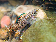 Coosa Darter (male)<br /> <br /> Bryce Gibson/Engbretson Underwater Photography