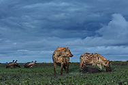 Two high-ranking spotted hyena females (Crocuta crocuta) with a blue wildebeest kill (Connochaetes taurinus) and waiting white-backed vulture (Gyps africanus) at dusk, Liuwa Plain National Park, Zambia
