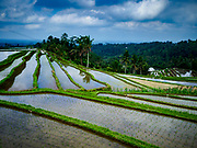 28 JULY 2017 - JATILUWIH, BALI, INDONESIA: Rice terraces near Jatiluwih, in central Bali. Rice is the most important crop grown on Bali and is important as a food source and a symbol of Balinese culture.     PHOTO BY JACK KURTZ