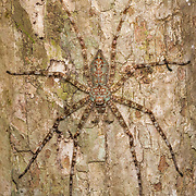Pandercetes is a genus of spiders in the family Sparassidae, the huntsman spiders. They are mainly distributed in tropical Asia and Australia, and are known for their cryptic patterning that matches the moss and lichen on tree trunks where they are usually found.