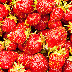 Fresh picked strawberries at Heron Pond Farm in South Hampton, New Hampshire.