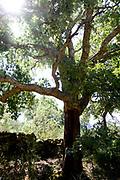 Kurkbomen nabij De Garnizoensgrensstad Elvas en zijn Vestingwerken staat op de Werelderfgoedlijst van Unesco en staat op de Werelderfgoedlijst van 2012. Elvas is een Portugese stad in Alentejo, vlakbij de Portugees-Spaanse grens.<br /> <br /> Corktree near The Garrison Border Town of Elvas and its Fortifications is a UNESCO World Heritage Site and a 2012 World Heritage Site. Elvas is a Portuguese town in Alentejo, near the Portuguese-Spanish border.