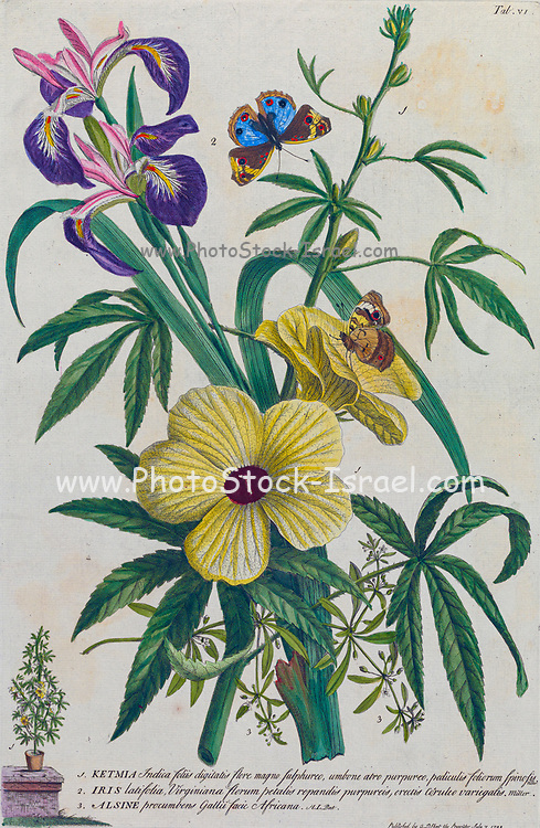 Ketmia and Irises Engraving, hand-colored print of plants and butterflies from Plantae et papiliones rariores (rare plants and butterflies) by Ehret, Georg Dionysius, 1708-1770 Published in London in 1748